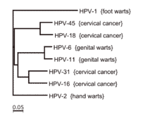 HPV infections - Cervical Cancer